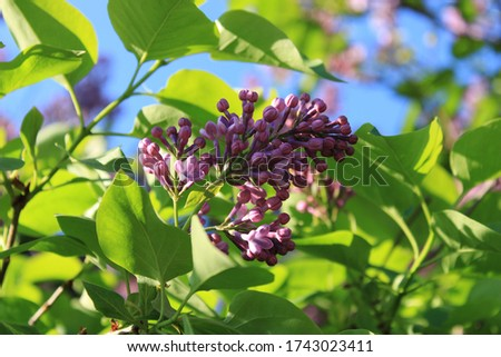 Lilac in the city park #1743023411