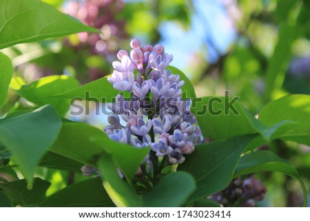 Lilac in the city park #1743023414