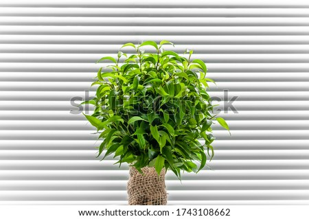 Ficus ginseng, species of evergreen woody plant in the fig genus. Ficus isolated, on white background. #1743108662
