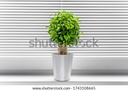 Ficus ginseng, species of evergreen woody plant in the fig genus. Ficus isolated, on white background. #1743108665