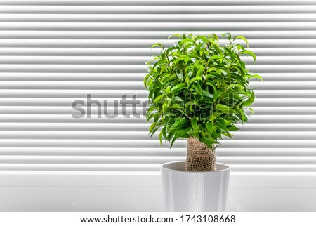 Ficus ginseng, species of evergreen woody plant in the fig genus. Ficus isolated, on white background. #1743108668