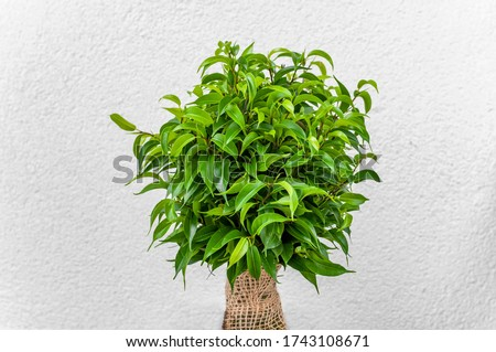Ficus ginseng, species of evergreen woody plant in the fig genus. Ficus isolated, on white background. #1743108671
