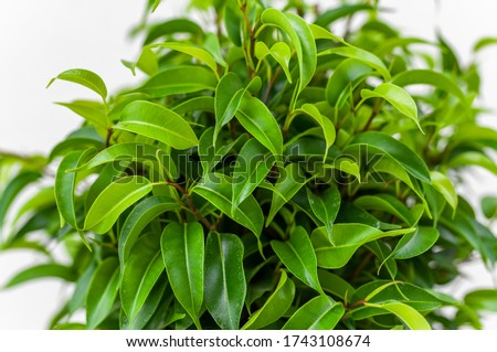 Ficus ginseng, species of evergreen woody plant in the fig genus. Ficus isolated, on white background. #1743108674