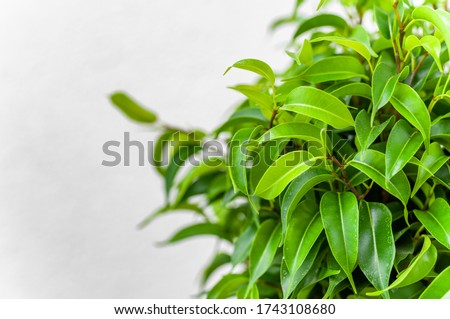 Ficus ginseng, species of evergreen woody plant in the fig genus. Ficus isolated, on white background. #1743108680
