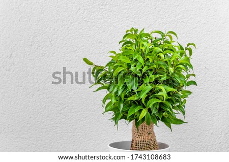 Ficus ginseng, species of evergreen woody plant in the fig genus. Ficus isolated, on white background. #1743108683