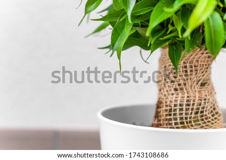 Ficus ginseng, species of evergreen woody plant in the fig genus. Ficus isolated, on white background. #1743108686