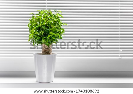Ficus ginseng, species of evergreen woody plant in the fig genus. Ficus isolated, on white background. #1743108692