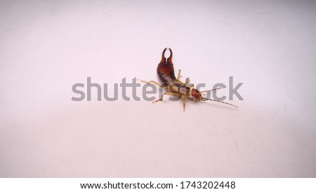 Earwig on a white background
