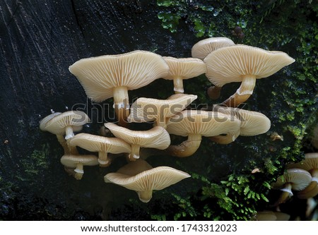 Close-up picture of mushroom, Armillaria novae-zelandiae is a species of mushroom in the Physalacriaceae family.