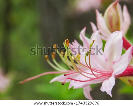 A close-up of the anthers and filaments extending out of the flower of Mountain Azalea (Rhododendron canescens), a woody shrub in the Rhododendron family (Ericaceae) found in the Eastern United States #1743329696