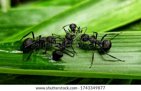 black ants on green leaf,Close up of the black ant on the green leaf in Forrest. Ants Meeting On Grass, Camponotus Japonicus ants. Royalty-Free Stock Photo #1743349877