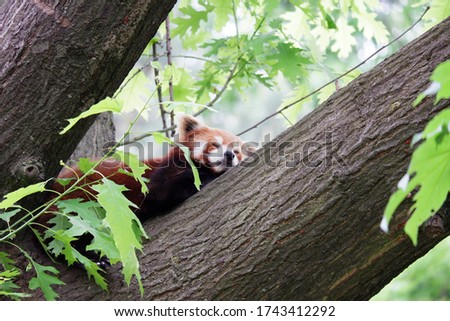 Picture of a sweet sleeping Red Panda