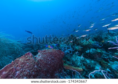 Creole wrasse swimming by a barrel sponge #174343667