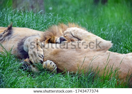 Couple of Katanga Lions Playing in Grass Portrait #1743477374