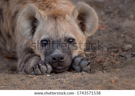 sleepy hyena to lazy to move