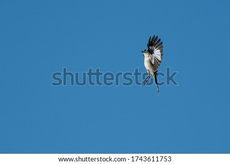 Northern Mockingbird Flying Straight Up As He Does His Territorial Display