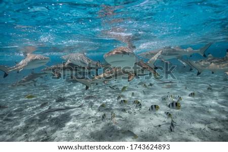 Lagoon Polynesia black tip shark feeding (Carcharhinus melanopterus)