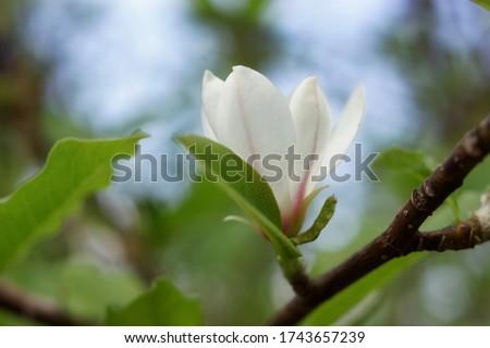 Magnolia soulangeana flower. White flower Magnolia bloom on Magnolia tree. Single white flower of magnolia, flowering tree in the garden, close up.