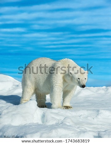 This picture is of a white polar bear.