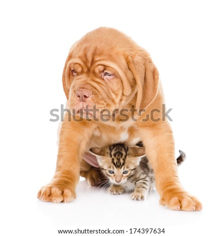 Bordeaux puppy dog and bengal kitten together. isolated on white background #174397634