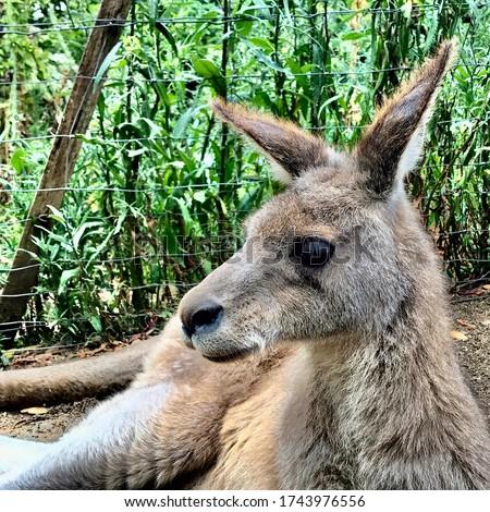 closeup picture of a kangaroo