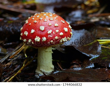 Close-up picture of mushroom, Amanita muscaria, commonly known as the fly agaric or fly amanita, is a mushroom and psychoactive basidiomycete fungus