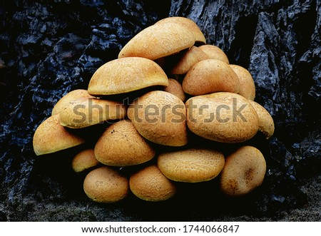 Close-up picture of mushroom, Gymnopilus junonius is a species of mushroom in the family Cortinariaceae. Commonly known as laughing gym, laughing Jim