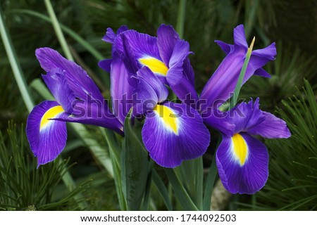 Dutch iris (Iris xiphium). Called Spanish iris also.