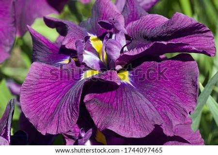 Silverband Iris (Iris ensata 'Silverband'). Known as Iris ensata 'Variegata' also.