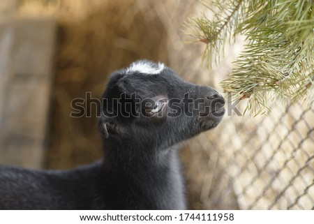 Young funny goat breed Lamancha and pine branch. A small black kid with a white spot on his forehead. Selective focus, copy space