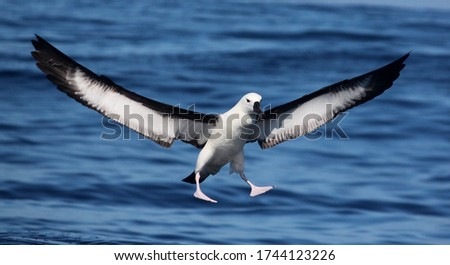 Immature Indian Yellow-nosed Albatross landing on a calm sea #1744123226