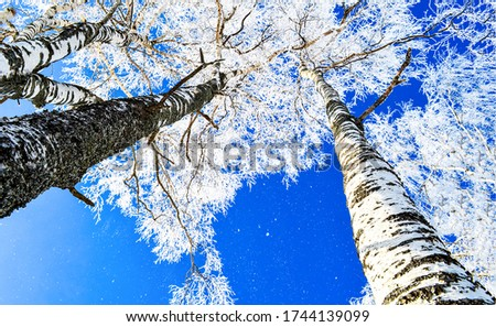 Winter snow birch tree tops. Snow covered winter birch tree tops on blue sky background #1744139099