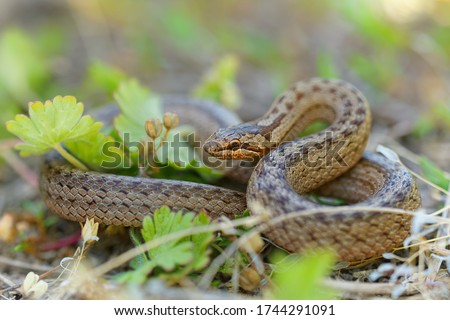 Smooth Snake - Coronella austriaca  species of non-venomous brown snake in the family Colubridae. The species is found in northern and central Europe, but also as far east as northern Iran. Royalty-Free Stock Photo #1744291091