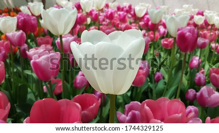 White tulips against magenta tulips. Pink and white tulips background. White and magenta tulips. Floral backdrop. Colorful floral greeting card. Tulip backdrop. Tulip background. Tulip field.