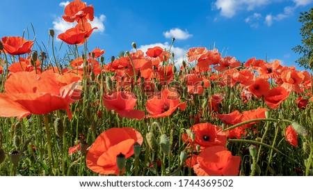 red poppy flowers, Papaver rhoeas or Papaveraceae in Heilbronn in Germany
