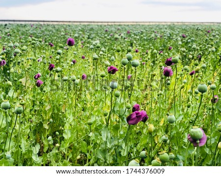 Purple poppy field, poppy flowers after bloom under cloudy sky. Close up poppy pods and seeds at the lilac poppy field. #1744376009