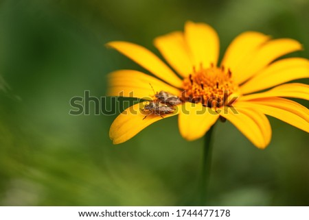 A  bug sits on a yellow flower on a green background with a sun glare. Dolycoris baccarum. Macro photo of an insect bedbug