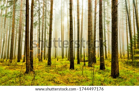 Misty forest trees fog background. Mist forest trees view. In misty forest #1744497176