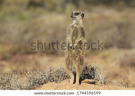 Meerkat emerging from burrow in the early morning.