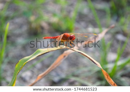 Red dragonfly picture beautiful pictures close up on plant leaf, animal insect macro, nature garden park
