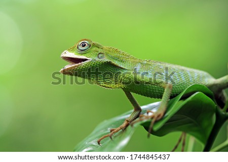 Green lizard on branch, green lizard sunbathing on branch, green lizard  climb on wood, Jubata lizard #1744845437