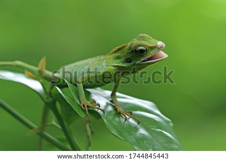Green lizard on branch, green lizard sunbathing on branch, green lizard  climb on wood, Jubata lizard #1744845443