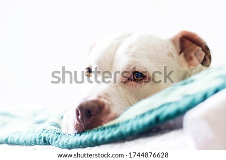 White American pitbull head on bed