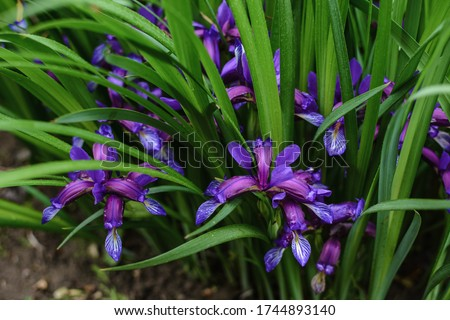 Blooming small blue iris ruthenica with the grass-like leaves, sometimes called ever blooming iris (in the UK), Russian iris, pilgrim-or Hungarian iris (in Europe)