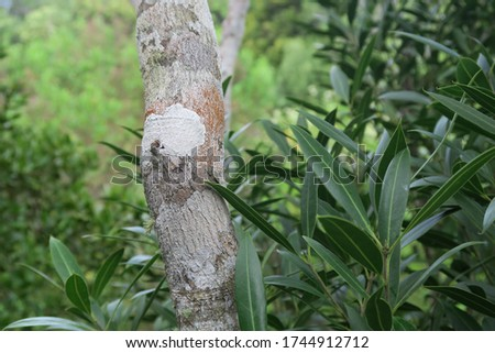Ebony tree trunk and green leaves in ebony forest reserve chamarel