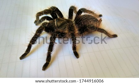 sexy black tarantulas from Indonesia