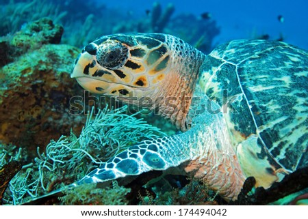Hawksbill Turtle (Eretmochelys Imbricata) Close-up, Cozumel, Mexico
