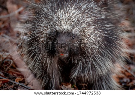 porcupine found in the woods