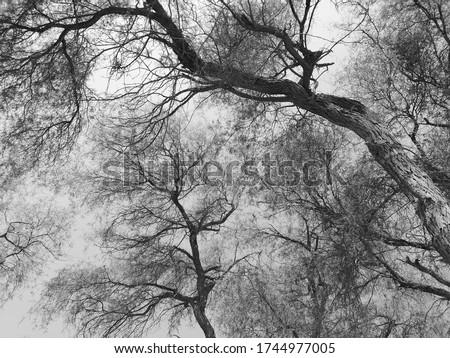 Prosopis cineraria, or Ghaf, is an arid desert tree native to Bahrain, India, Iran, Oman, Pakistan, Saudi Arabia and United Arab Emirates. It is the national tree of the UAE. Black and white image.