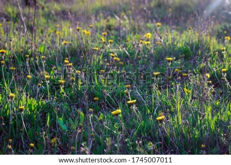 Dandelion macro photo. Yellow dandelion flower. Green dandelion leaves. Dandelions bloom in spring.